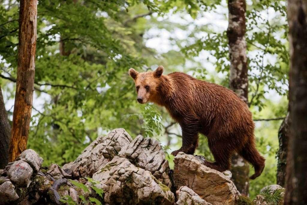 Beren spotten in Slovenie
